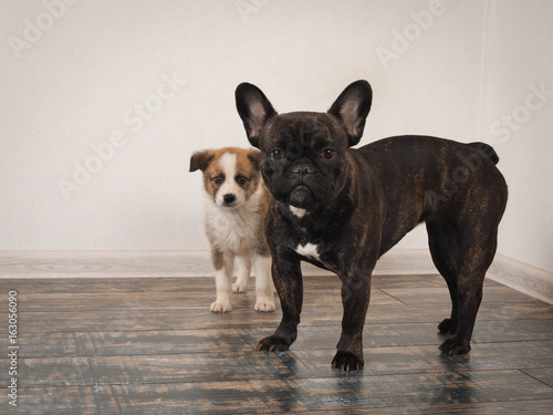 Papiers peints Bouledogue français The dog is a French bulldog and small puppy breed