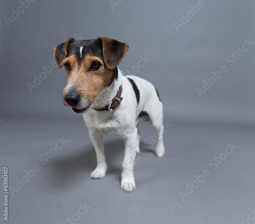 hund jack