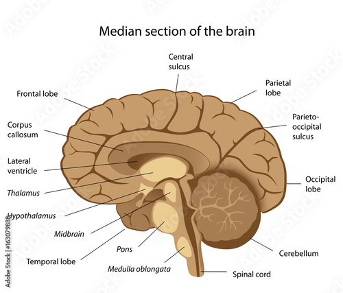 Human Brain Anatomy Labeled Buy Photos Ap Images Detailview