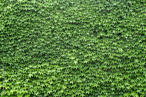 wall of leafs vine full green texture background garden foliage nature pattern