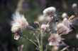 Wild thistle gone to seed in shallow focus