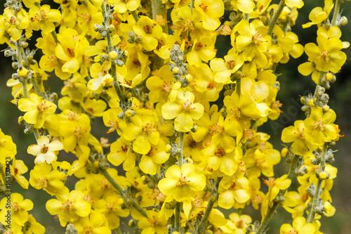 Foto Murales Verbascum thapsus. Flores amarillas de Gordolobo, Verbasco.