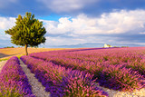 Lavender fields near Valensole in Provence, France. - 163119448