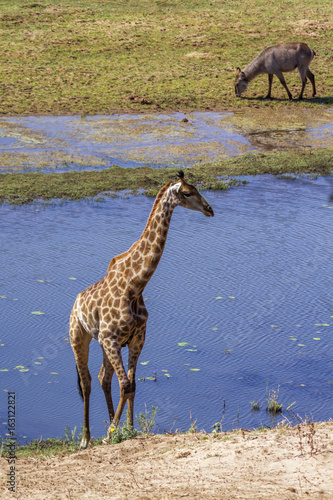 Poster Giraffe in Kruger National park, South Africa