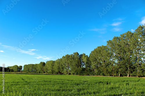 Birch trees near a paddy in summer