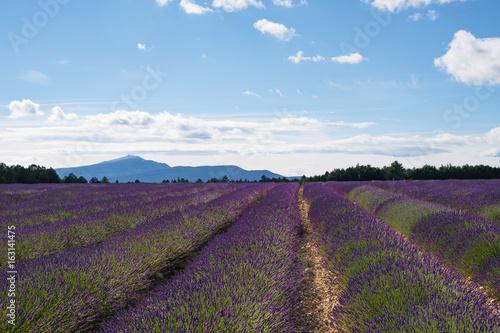 Papiers peints Aubergine Champ de lavande au Pays de Sault, Provence, France. Le mont Ventoux en arrère plan.