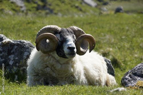 Scottish Blackface Schaf Poster