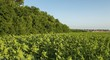 Field of young green sunflower plants. Agricultural landscape.