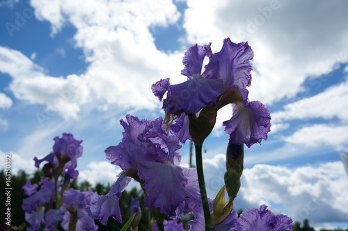 Delicate beautiful iris flower in bright green grass under a light blue sky