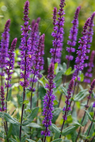 Background or Texture of Salvia nemorosa 'Caradonna' in a Country Cottage Garden in a romantic rustic style Poster