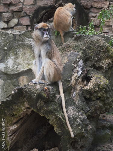 Couple of Patas monkey in zoo environment.