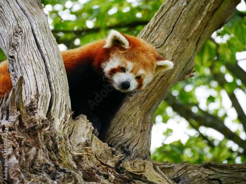 Cute red panda in a tree