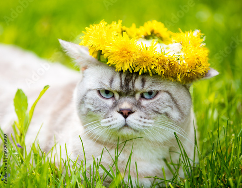 Portrait of a cat, sitting in the grass, crowned with dandelion chaplet Poster