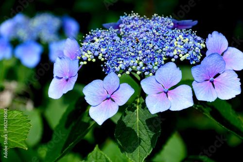 紫陽花の花(Blossoms of Hydrangea macrophylla)