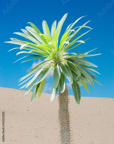 Madagascar palm tree (Pachypodium lamerei