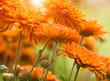 orange flowers at summertime