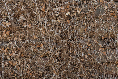 Stone wall covered with dry ivy.