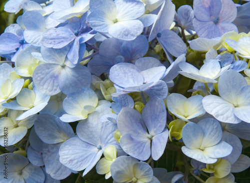 Hortensia, inflorescence of lilac flowers with many flowers.