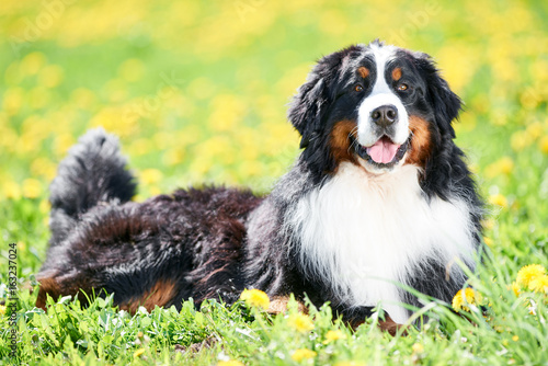 Bernese Sennenhund purebred shepherd dog in field
