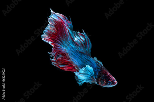 Siamese fighting fish isolated on black background Poster