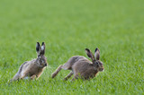 Brown Hares (lepus europaeus) chasing each other - 163240430