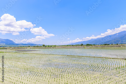 Rice field with Blue sky and cloud, Taiwan eastern,Chishang Township, Taitung County, Taiwan (R.O.C.)