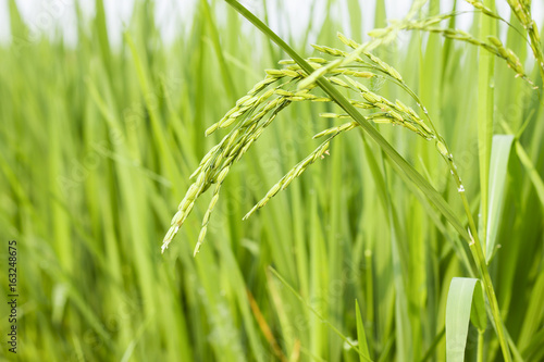 rice field in north Thailand, nature food landscape background