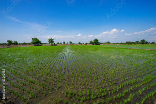 set small green rice on the ground and water blue sky