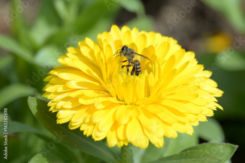 Little bee and yellow flower.