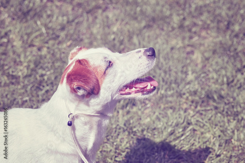 Color toned portrait of a young Jack Russell Terrier