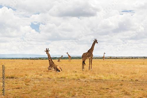 group of giraffes in savannah at africa