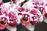 Storczyk, orchidea, orchid, orchis