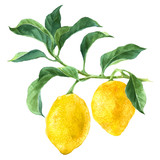 Watercolor lemon tree branch - 163271010