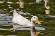 White Duck in Water