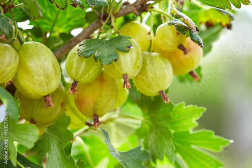 Fresh gooseberries on a branch of gooseberry bush in the garden