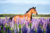 Arabian horse running among lupine flowers. - 163284689