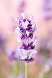 Lavender flowers. - 163296211