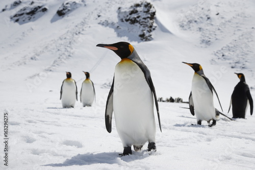 Fotobehang Pinguin King penguins stand in fresh snow on South Georgia Island