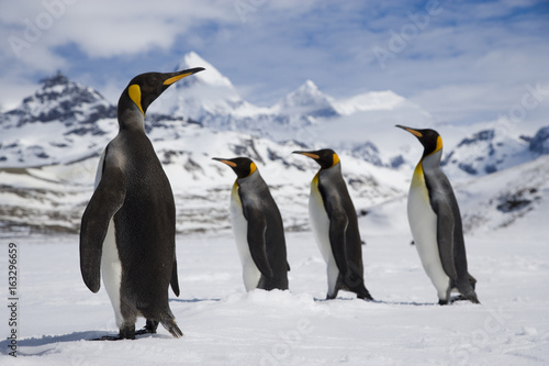 Canvas Pinguin One king penguin watches as three king penguins walk past in the snow in front of the mountains of South Georgia Island