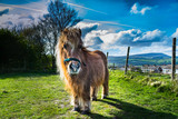 Brown miniature horse with long hair, Pony in the meadows, Lancashire, England, UK