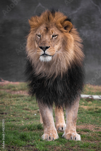 Poster Standing lIon