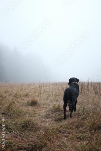 Chien Labrador dans la brume en montagne Poster