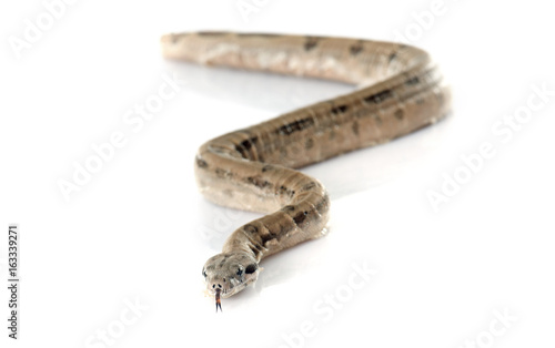 young boa constrictor