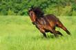 Bay horse run fast on spring field - 163343421