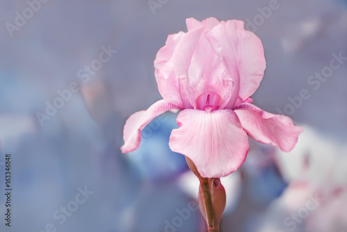 Lovely gentle pink iris flower in the garden. Gentle soft blue background. Soft focus. Lots of free space.