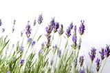 Fresh lavender flowers on white - 163348483