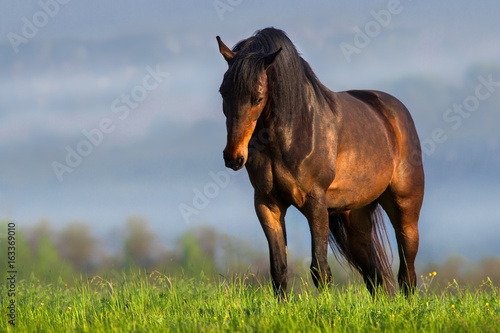 Bay horse with long mane portrait outdoor in sunrise fog
