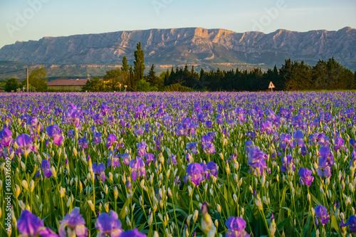 Fotobehang Iris La montagne Sainte-Victore en Provence, France. Champ d'iris au premier plan. Lever de soleil.