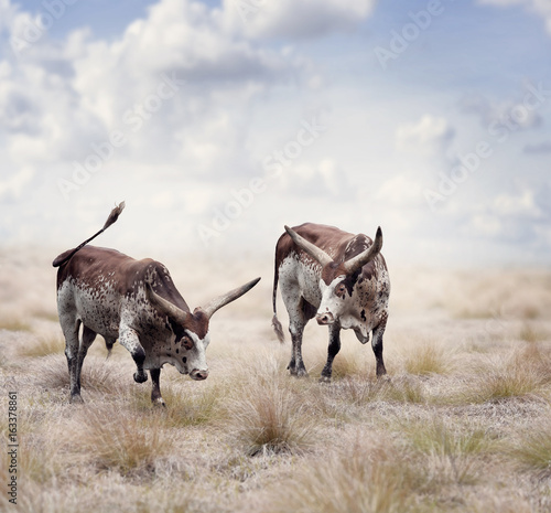 Brown and white longhorn steers - 163378861