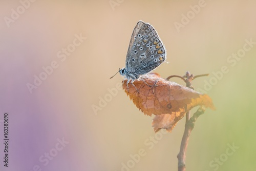 Staande foto Vlinders in Grunge Beautiful nature scene with butterfly Common blue (Polyommatus icarus). Macro shot of butterfly on the grass. Butterfly in the nature habitat.